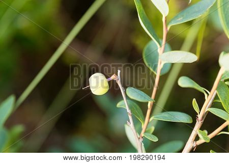 Green berries of a bog bilberry Vaccinium uliginosum.