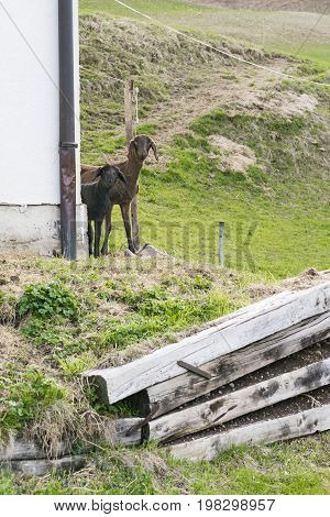 Curious shorn brown sheep peering around a building at the camera with a pile of timber in the foreground