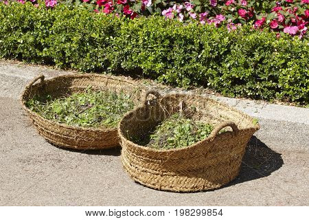 Wicker basket. Garden shrub prune. Gardening time. Horizontal