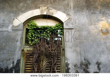 Wild plant and roots growing trough the ancient windows of old building in Semarang, Indonesia