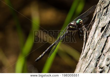 An Arrowhead Spiketail Dragonfly perched on a tree near a creek. poster