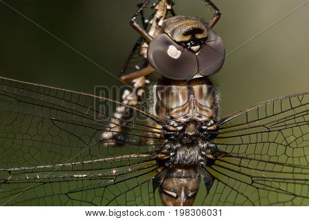 A Green-striped Darner hanging from a branch in Door County Wisconsin.