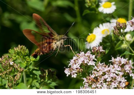 A Hummingbird Clearwing Moth feeding from some flowers.