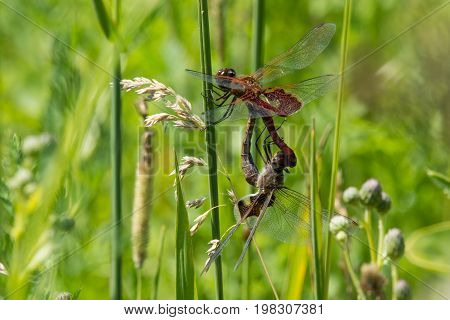 A pair of mating Red Saddlebags dragonflies in the wheel.