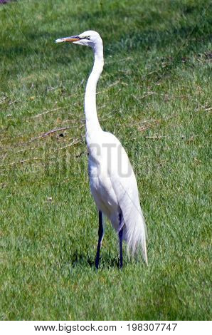 A great egret (Ardea alba) stands on a lawn in Joliet, Illinois during May.