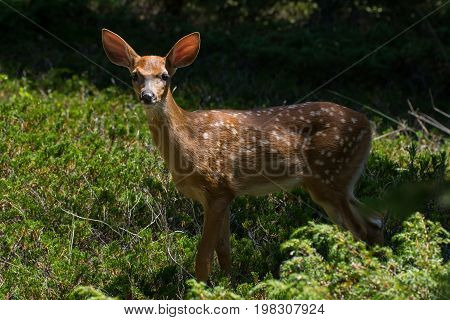 A Whitetail Fawn near a trail in Door County Wisconsin.