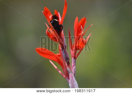 horizontal image bumble bee pollinating red flower