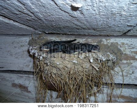 Swallow nest near the ceiling in the old barn with little swallows