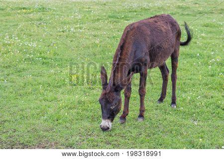 Domestic Donkey In A Field 2