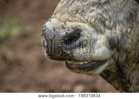 Muzzle Nose Of A Bull With Flies
