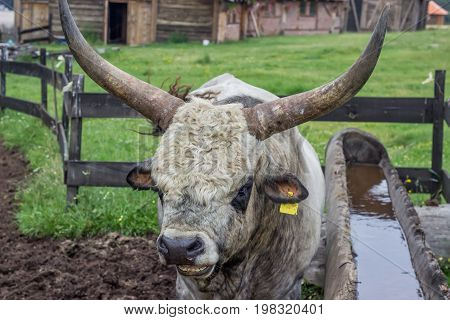Podolian Bull With Big Horns At The Farm 2
