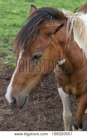 Portrait Pony At The Farm