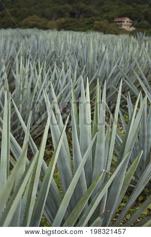 Blue Agave plants on a farm in Jalisco Mexico.