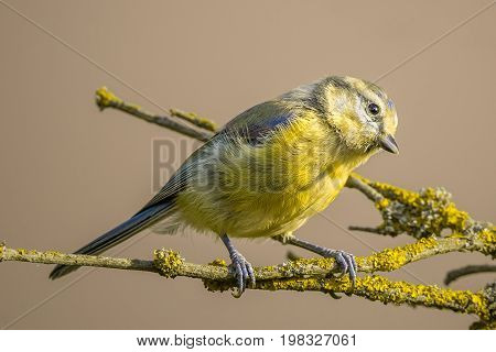 Curious Child Blue Tit With Yellow Feathers On Branch With Yellow Lichen
