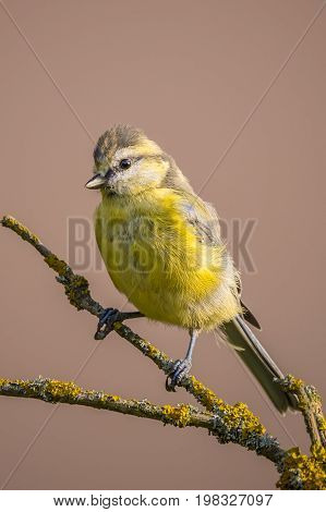 Child Blue Tit With Yellow Chest On Branch With Color Lichen