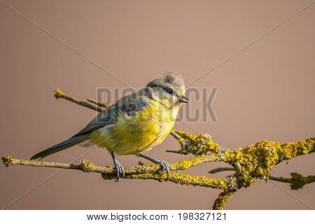 Child Blue Tit With Yellow Chest On Branch With Yellow Lichen