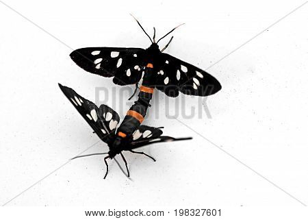 Butterflies are mating on the white surface