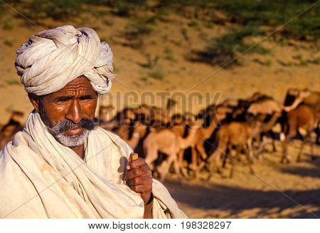 Pushkar, India - November 17: Camels At The Annual Livestock Fair