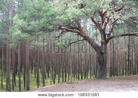 Individual tree ibetween ordinary trees in the Baltic wood.