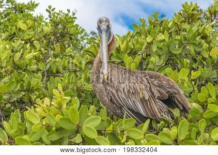Big Pelican At Tree, Galapagos, Ecuador