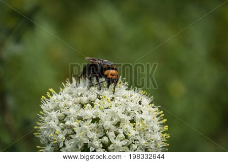 Megascolia Maculata. The Mammoth Wasp. Scola Giant Wasp On A Onion Flower.