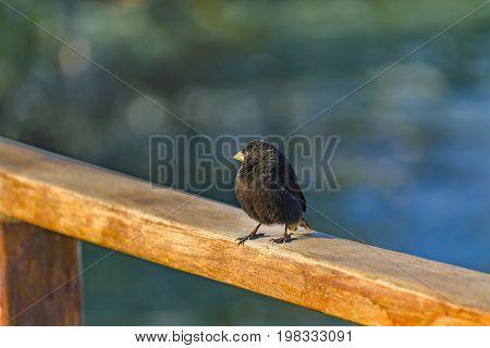 Black Small Bird At Railing, Galapagos, Ecuador