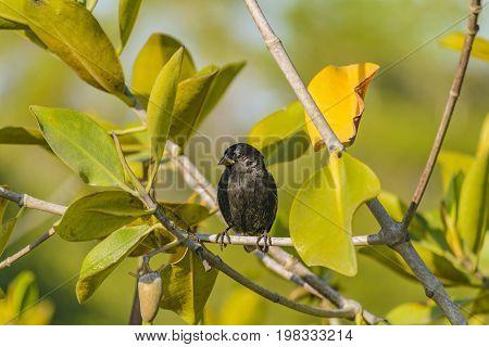Black Small Bird Tree, Galapagos, Ecuador