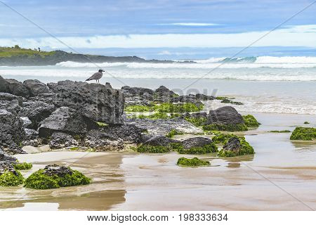 Grey Bird At Rocks At Beach, Galapagos, Ecuador