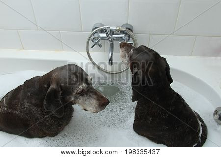 Two German Shorthaired Pointer sisters at the age of 13 in the bathtub