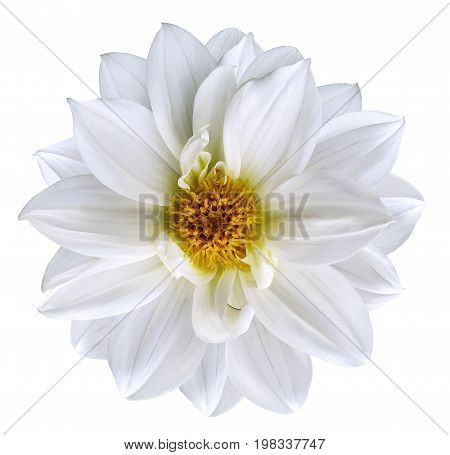 White flower on isolated white isolated background with clipping path. Closeup. Beautiful snow-white flower for design. Dahlia. Nature.