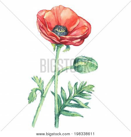 Flowering red poppies flowers (Papaver somniferum, the opium poppy). Watercolor hand drawn painting illustration, isolated on white background.