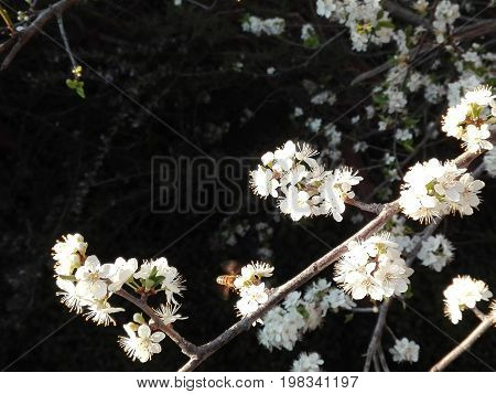 A Bee collecting pollen from a Plum-tree flower