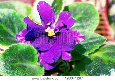 Purple Saintpaulia Houseplant Flower Blurred
