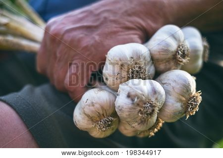 Old man holding a fresh garlic in a nature. Natural background. Farmer. Medicine and healthy. Traditional medicine.