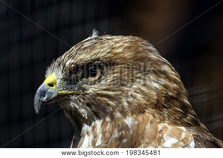 close-up of a Broad-winged Hawk in captivity