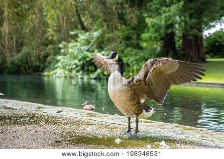 A Canada goose is stretching its wing in the lakeside