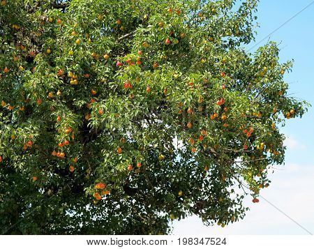 Lots of ripe orange and yellow fruit pear hanging on the branches of pear tree in Sunny summer day. Large crop of pears in garden