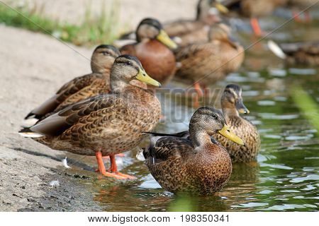 Group of young wild ducks on the lake shore in summer