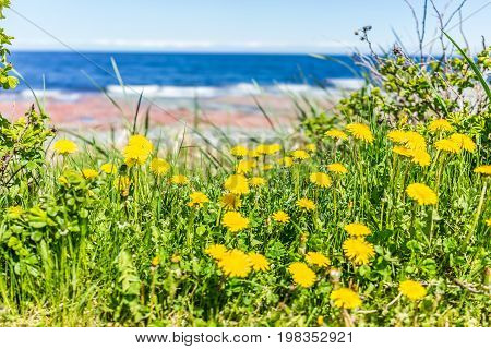 Yellow Dandelion Flowers In Summer By Saint Lawrence River Beach In Gaspe Region Of Quebec, Canada