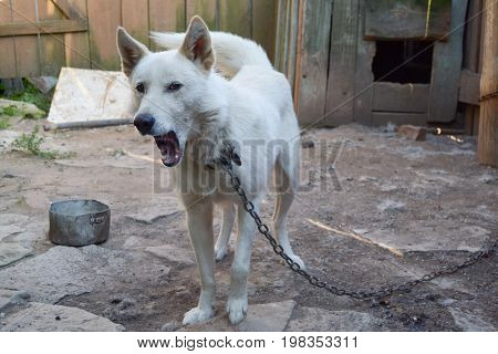 White dog on the chain yawns - yard of farm house in Russian countryside, close up