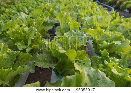 Fresh Vegetable salad in organic farm, Thailand.