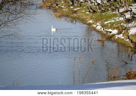 A snow goose (Anser caerulescens) swims on the water, while flocks of Canada geese (Branta canadensis) stand on the shore of a small lake in Joliet, Illinois, during November migration.