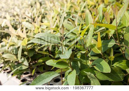 Eucalyptus seedlings,  plats for paper industry in Thailand.