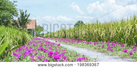 Portulaca grandiflora flower blooming on roadside land rice fields are in transplants. This is beauty of the idyllic, peaceful rural Vietnam