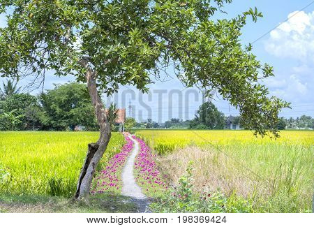 The rural scene with a dirt road leading to the house is grown portulaca grandiflora flower. This is beauty of the idyllic, peaceful rural Vietnam