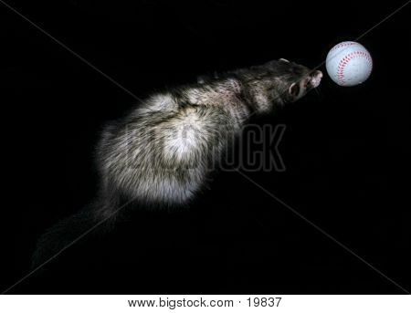 Domestic Ferret With Ball