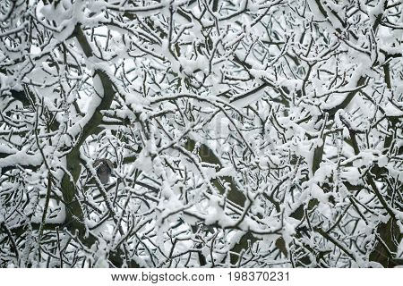 Tangle of branches showered of fresh snow.