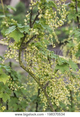 Currant Plant unripe raw red and white currants fruit bio organic backyard healthy outdoor produce germany macro close up branches