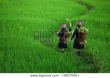 The hill tribe woman walks in the rice paddies.