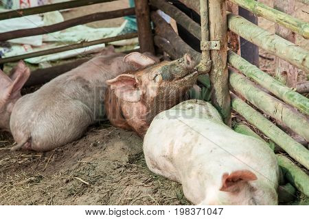 Small pigs in the farm, indoor farm in Thailand.